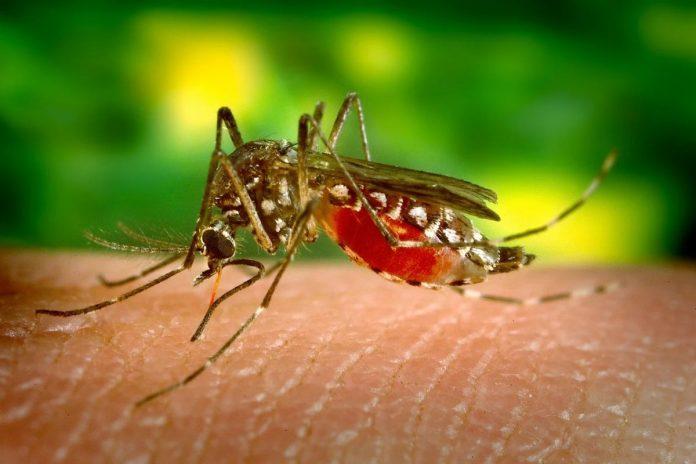 Komar - zdj. ilustracyjne.
